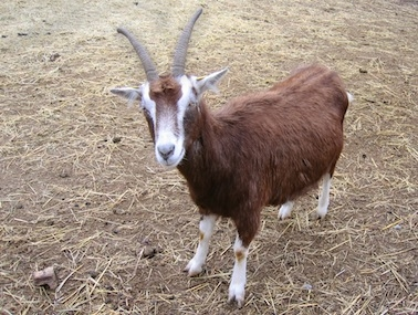 Billy goat, 1340677_96644970.jpg